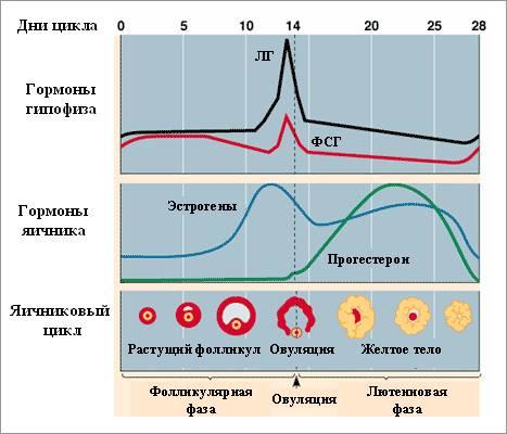 гормоны на протяжении цикла
